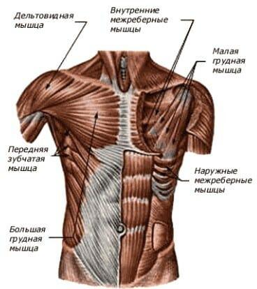 процент мышц человека.