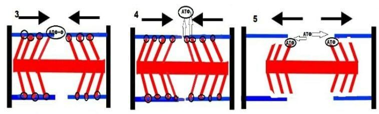 отцепление миозина от актина