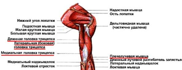 задняя группа мышц плеча