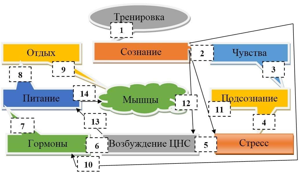 ЦНС и мышцы