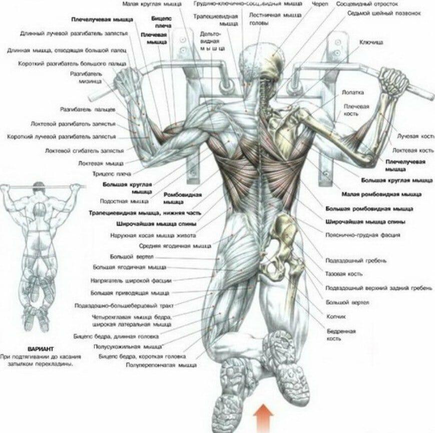 Все мышцы при подтягивании