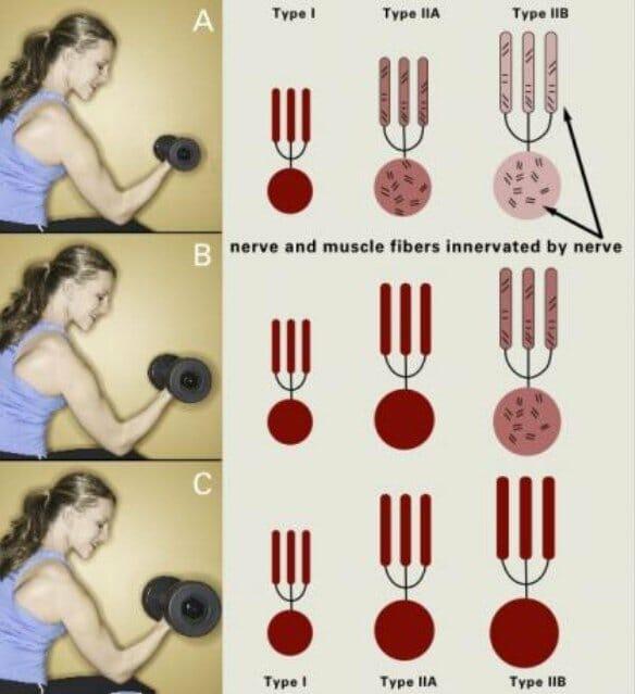 виды мышечных волокон в работе