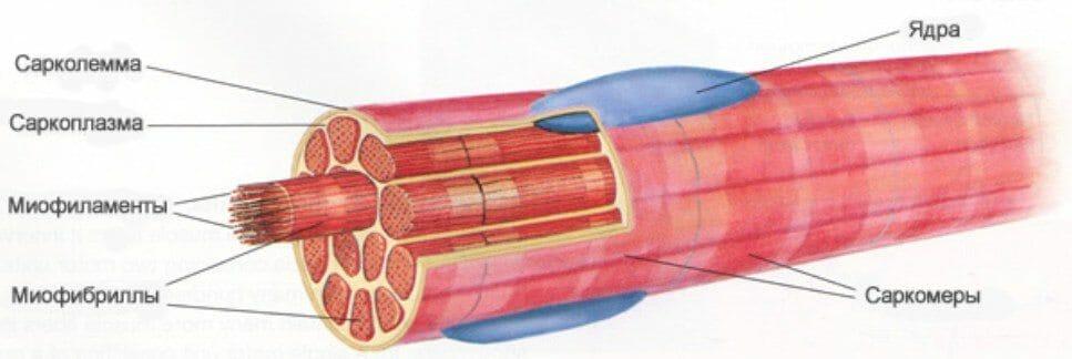 строение мышцы в разрезе