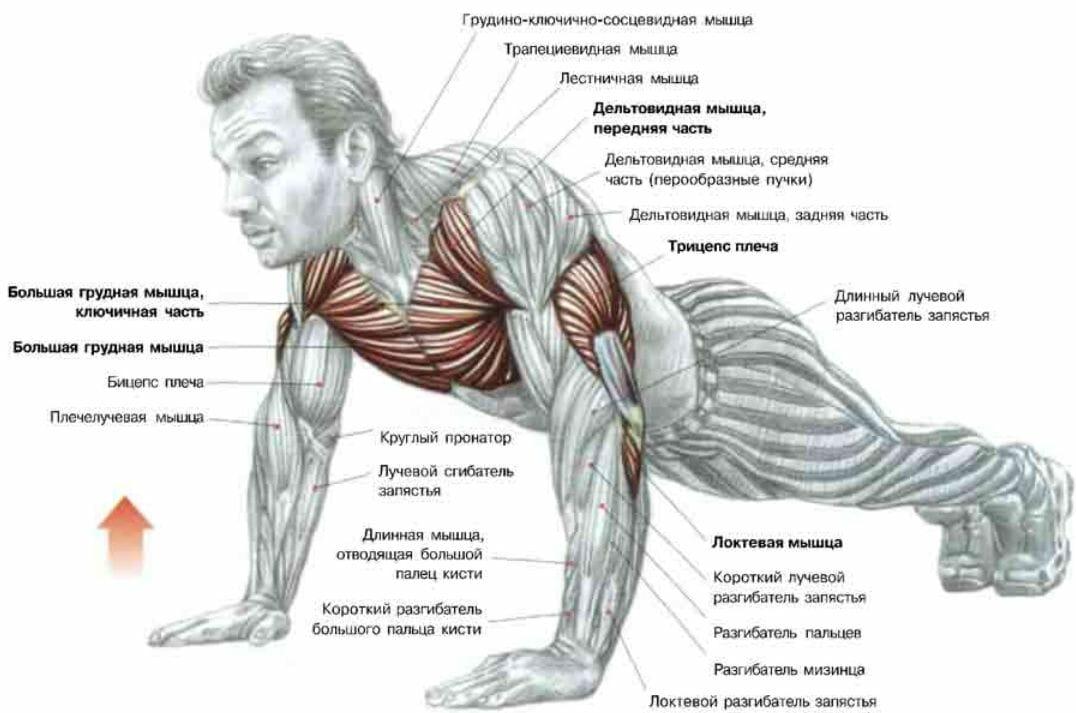 мышцы при отжимании