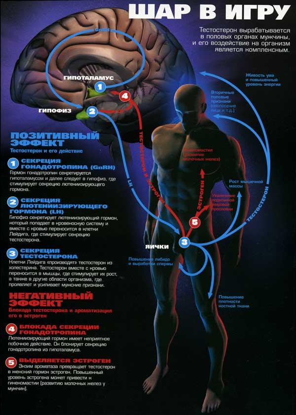 механизм действия тестостерона