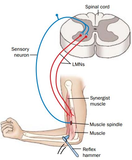 передача сигналов мышце и ЦНС