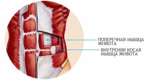 поперечная и внутренняя косая мышцы живота