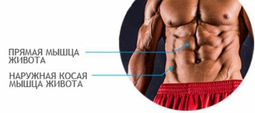 прямая и наружная косая мышцы живота