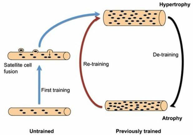 тренировки и мышечная память