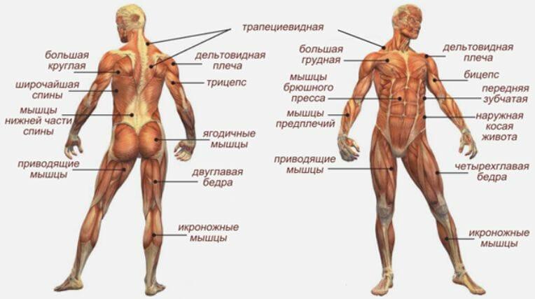 мышцы для быстрого продвижения в воде