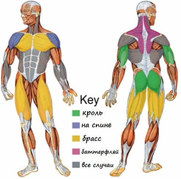 мышцы в плавании