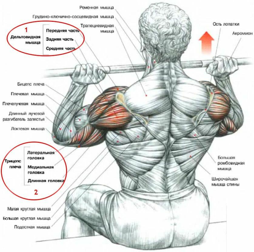 мышцы в армейском жиме