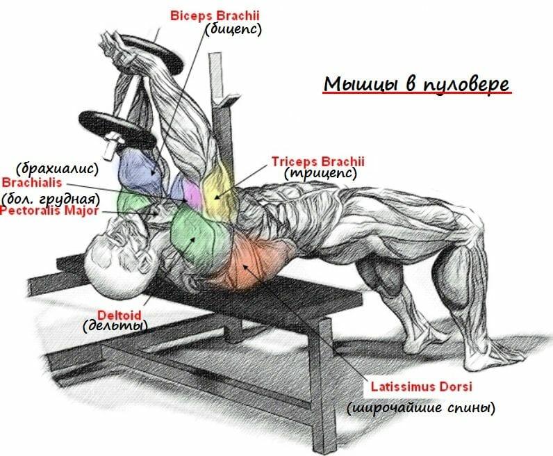 упражнение пуловер, мышцы