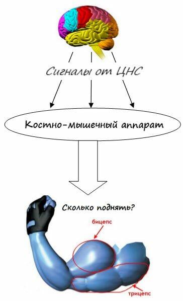 мышцы и ЦНС