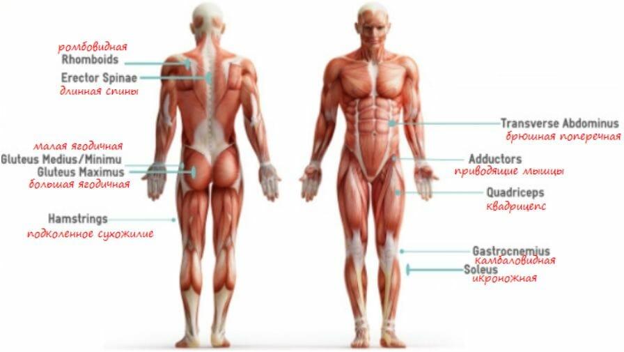 мышечный атлас упражнения выпады с гантелями