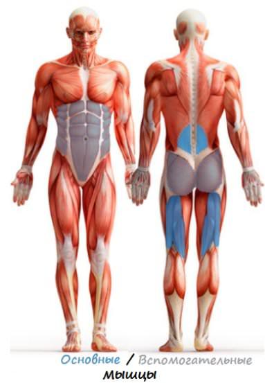 мышечный атлас упражнения гиперэкстензия