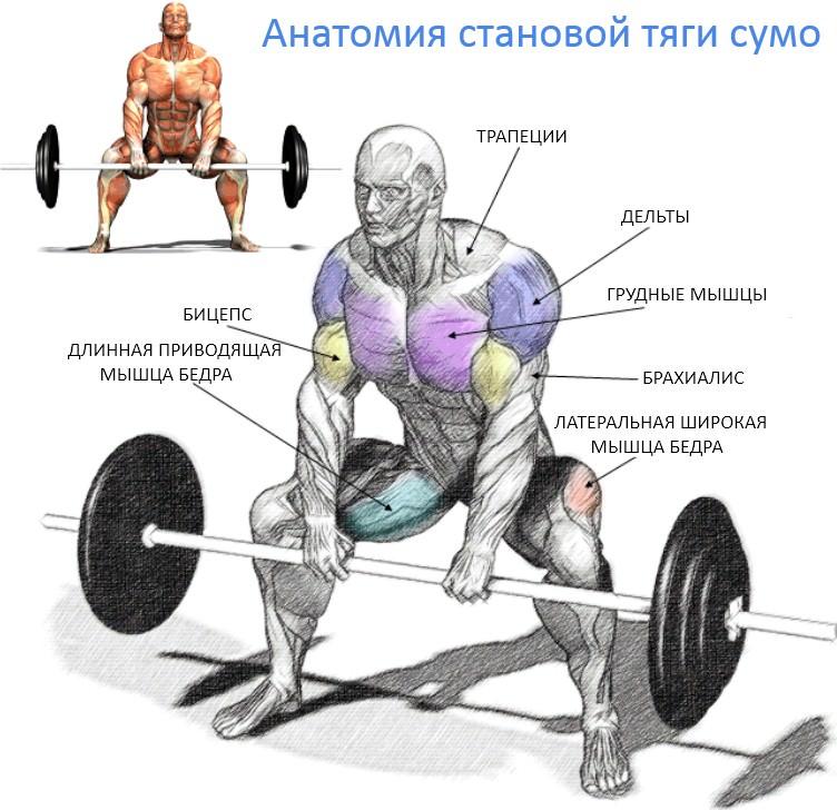 анатомия становой тяги сумо