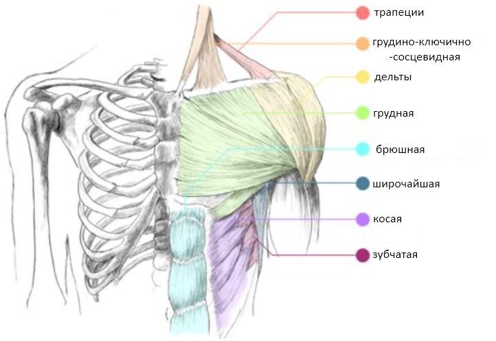 мышцы верхнего плечевого пояса