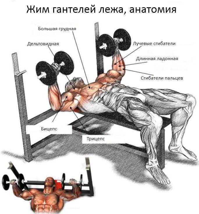 анатомия упражнения жим гантелей лежа