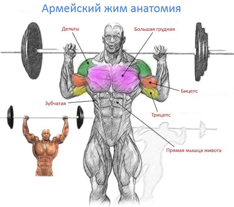 анатомия армейского жима