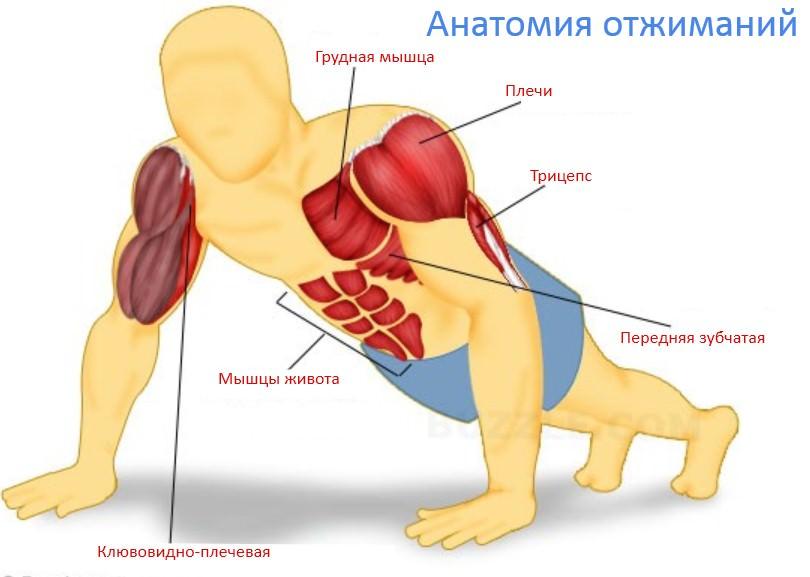 мышечный атлас отжиманий
