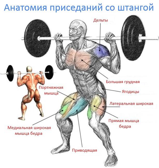 анатомия приседания о штангой
