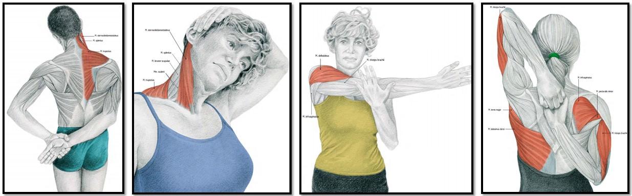 упражнения на растяжку мышц шеи и плеч
