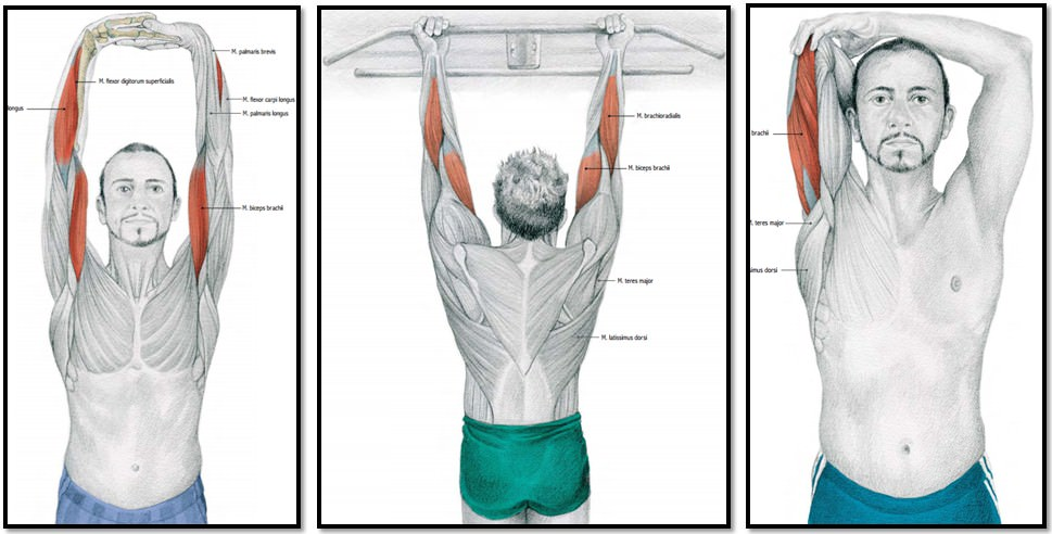 упражнения на растяжку бицепса и трицепса