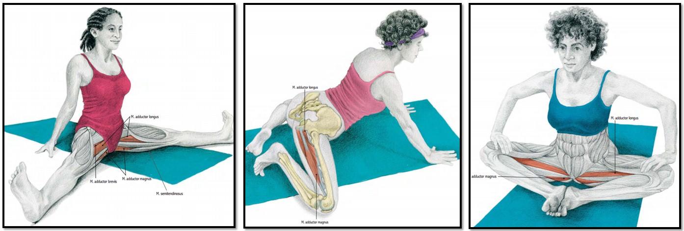 Мышечная группа ноги: приводящие мышцы