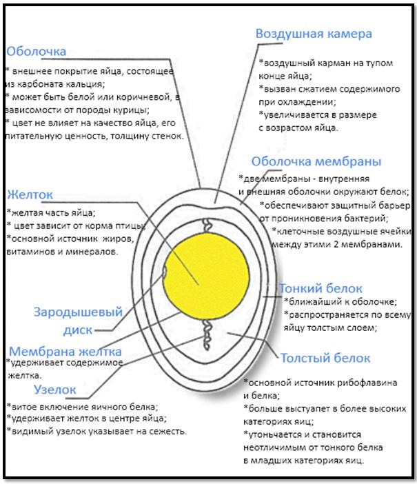 структура яйца