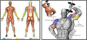 Разгибание руки с гантелью из-за головы: полный мышечный атлас