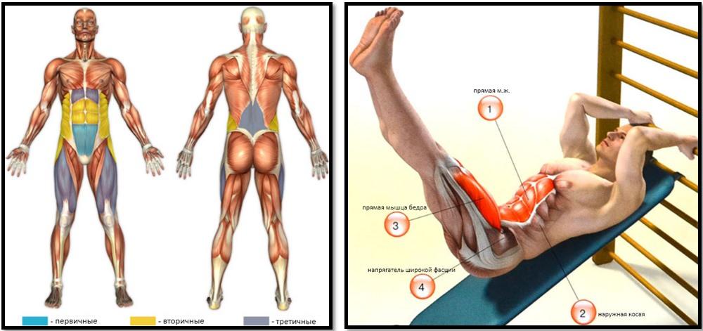 Подъем ног в положении лежа: полный мышечный атлас