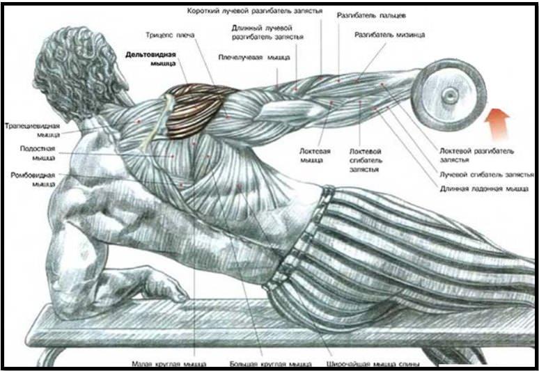 Подъём гантели одной рукой лежа на боку мышечный атлас