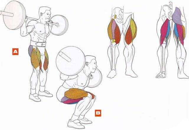 Упражнение приседание со штангой анатомический атлас