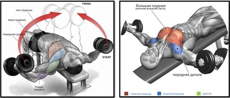 Разведение гантелей лежа на скамье под углом вниз мышцы
