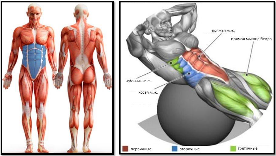 Скручивания на фитболе: полный мышечный атлас мышц живота