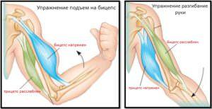 Механика работы мышц рук