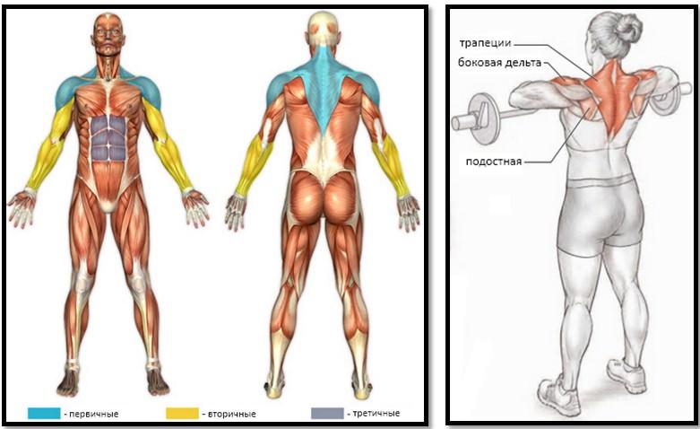 Тяга к груди нижнего блока. Полный мышечный атлас