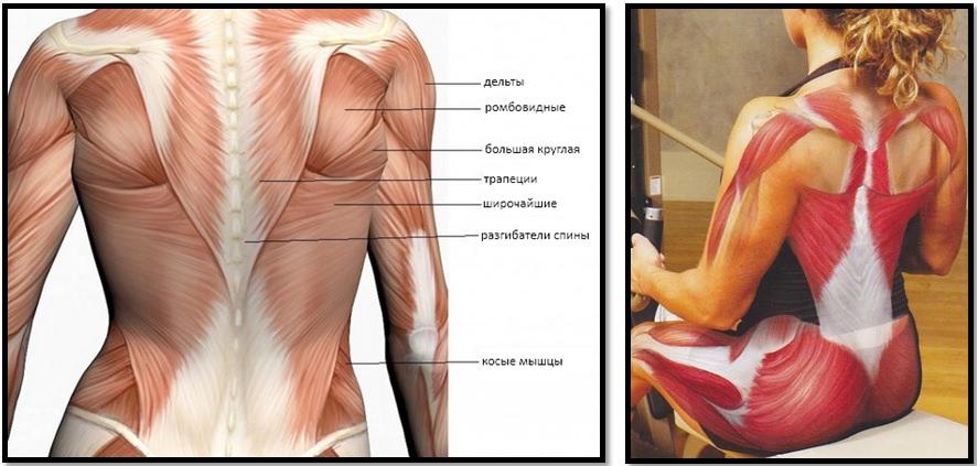 Мышцы спины. Полный мышечный атлас