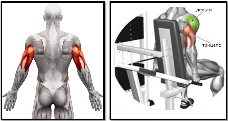 Мышечный атлас отжимания в тренажере для трицепса