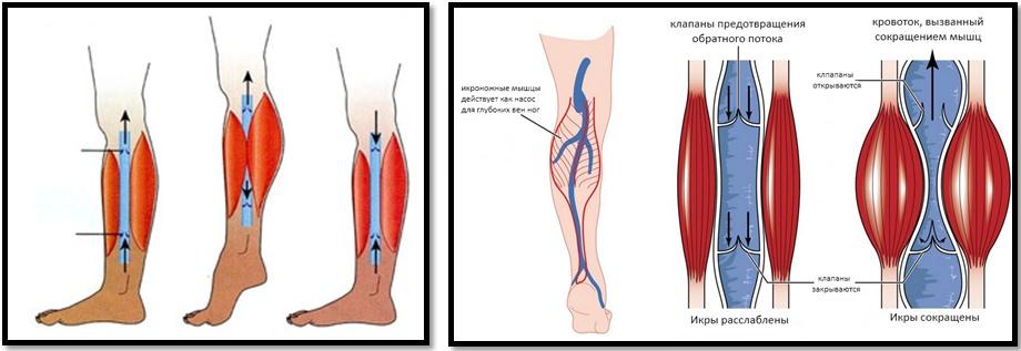 Анатомия мышц голени во время движения