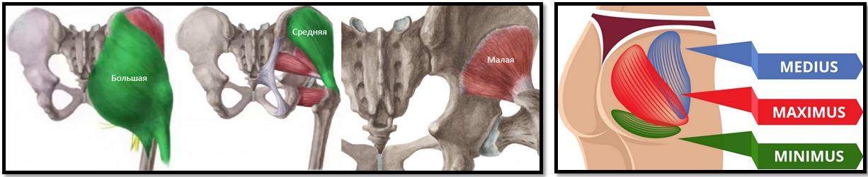 Полный анатомический атлас мышц ягодиц