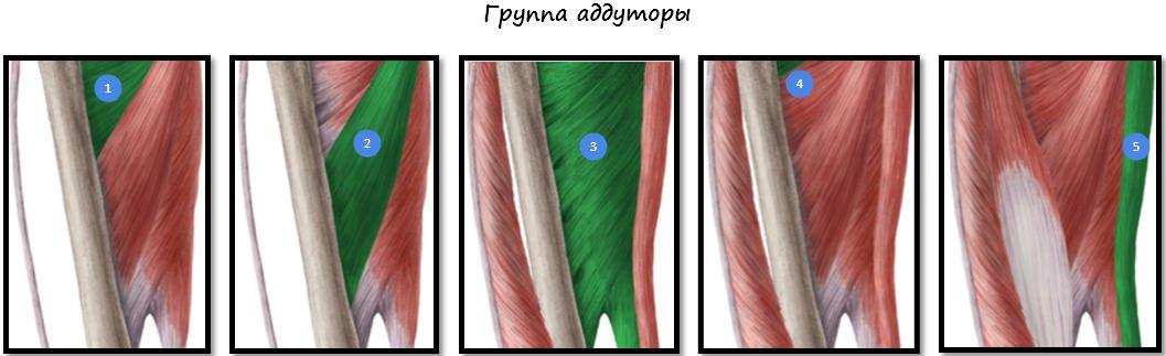 Мышцы-аддукторы