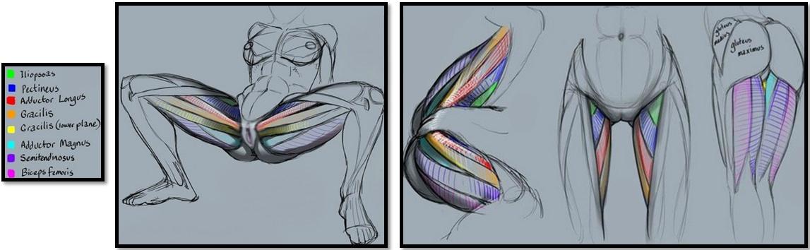 Бедра: полный мышечный атлас