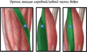 Прочие мышцы передней и задней части бедра