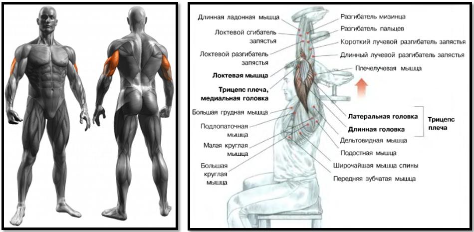 Разгибание рук с гантелью из-за головы мышечный атлас