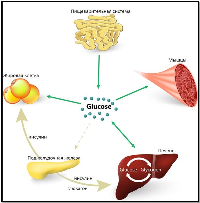Что происходит внутри организма после приема пищи