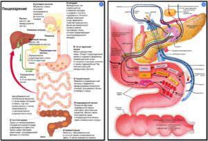 3r8pBFb-300x203 Процесс пищеварения схема