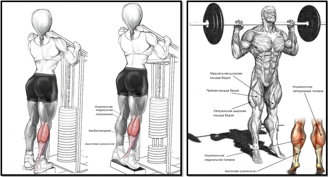 Подъемы на носки стоя мышцы в работе
