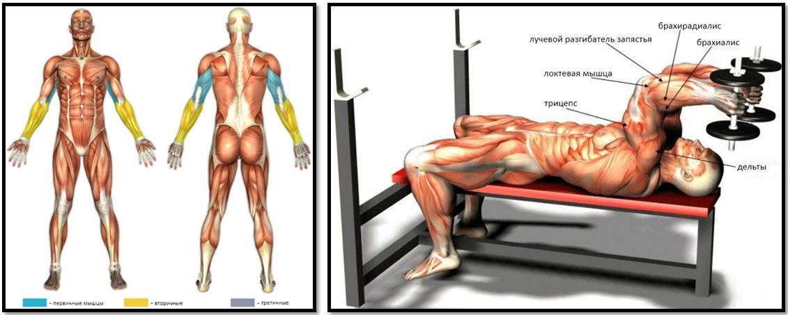 Разгибание рук лежа с гантелями мышцы в работе